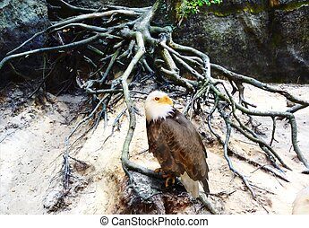 Bald eagle sitting on a tree root