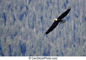 Bald Eagle Soaring High in the Mountains