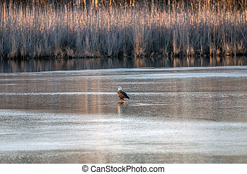 Bald Eagle Standing on the ice of a frozen lake in the sun during Winter