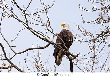 bald eagle in british columbia canada