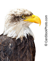 Bald Eagle - Haliaeetus leucocephalus isolated on white...