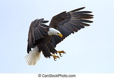 Bald Eagle - A bald eagle about to land