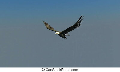 Bald eagle - flying bald eagle
