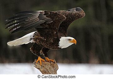 Bald Eagle Take-Off - A Bald Eagle (Haliaeetus...
