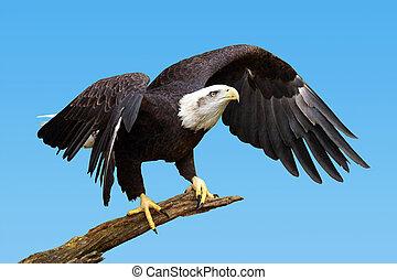 Bald eagle taking flight - Bald eagle, Haliaeetus...