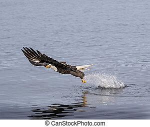 Bald eagle taking off from water splash - Bald Eagles