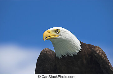 Bald Eagle Watching for prey - Perched bald eagle keeping a...