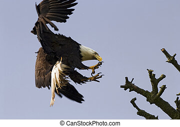 Bald Eagle With Talons - An American bald eagle preparing to...