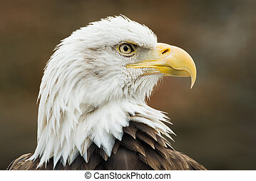 Bald Eagle XI - Profile portrait of Bald Eagle