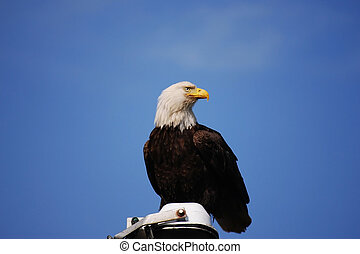 Bald Eagle:Haliaeetus leucocephalus - Bald Eagle perched...