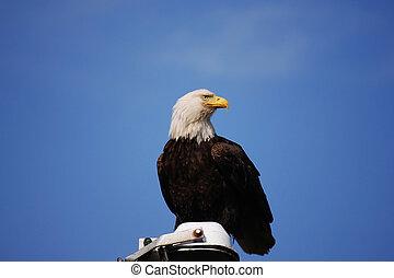 Bald Eagle:Haliaeetus leucocephalus - Bald Eagle perched...