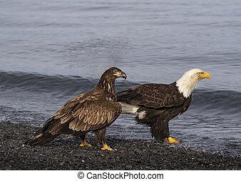 Bald Eagles adult and juvenile on beach - Bald Eagles