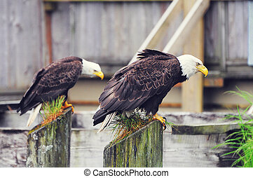 Bald eagles on the wooden fence background.