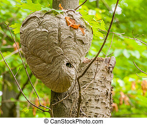 Bald-faced Hornets Hive hanging from a tree branch in the...