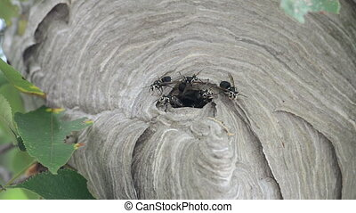Bald-faced hornet%u2019s nest - Bald-faced hornets swarm...