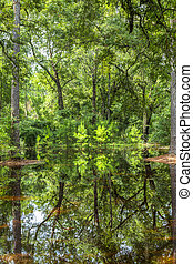Bald Trees reflecting in the water in a florida swamp on a...