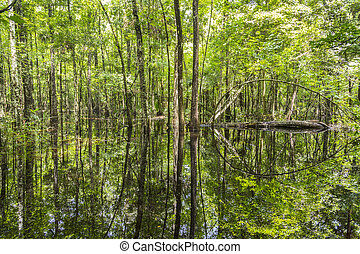 Bald Trees reflecting in the water in a florida swamp on a ...