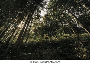 baldacchino, su, attraverso, forest., albero, germany., lucente, garmisch-partenkirchen, sole, eibsee, scuro, dall'aspetto