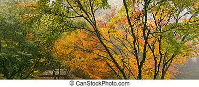 baldakin, av, japansk lönn, träd, in, den, falla