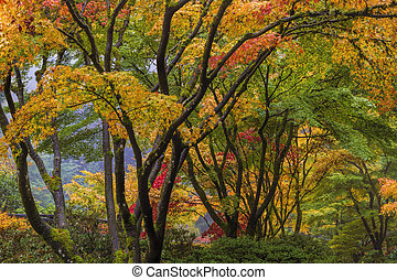 baldaquin, arbre, érable japonais