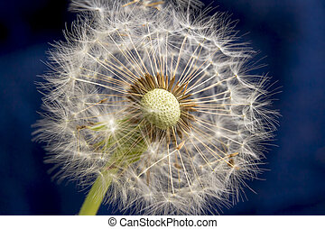 Balding dandelion