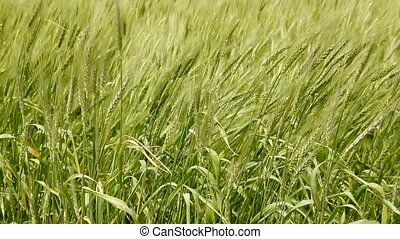 Balearic green wheat field in Formentera island focus in...