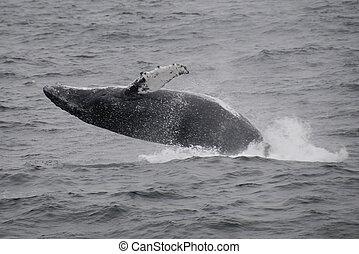 baleia acinzentada