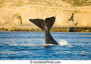 baleia direita, península, valdes