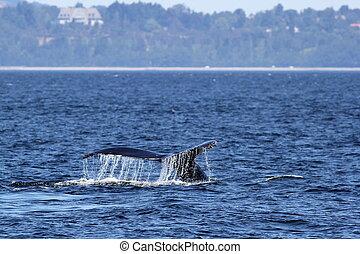 baleia, humpback, trematodo