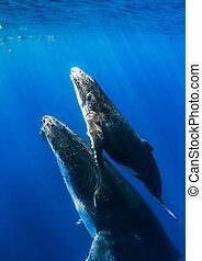 baleias, humpback