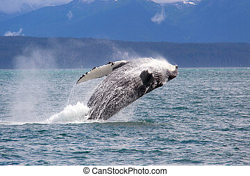 baleine, bossu, alaska, sauter