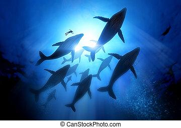 baleine, bossu, migration