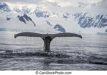 baleine, bossu, queue