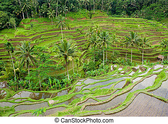 bali, arroz, terrazas, indonesia