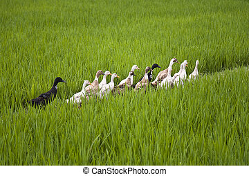 Bali ducks - Balinese ducks walking through a rice field