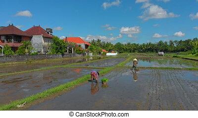 bali, grand, field., riz, voyage, concept, aérien, groupe, ...