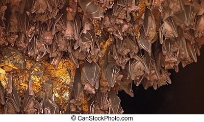Bali, Indonesia. A flock of bats on a rock. Territory of...