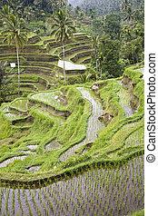 Bali ricefield - A ricefield near Ubud in Bali, Indonesia