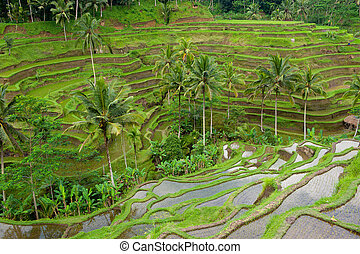 bali, riso, terrazzi, indonesia