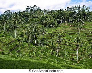 Bali terraces - Asian mountain rice terraces. Bali,...