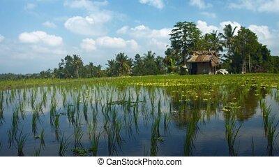Panning Shot of a Rice Paddy on a Plantation near Ubud, Bali, Indonesia. Video 3840x2160