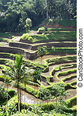 Balinese Rice Terraces - Balinese rice terraces, in early...