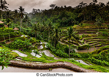 Balinese rice terraces on a rainy day close to Ubud in Bali