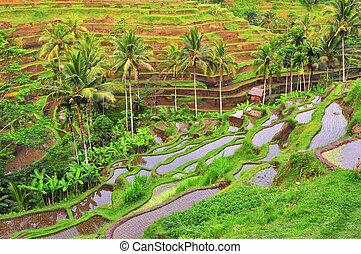balinese, riso, verde, terrazzo, campi