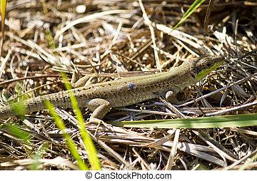 Balkan green lizard, Lacerta trilineata - Balkan green...