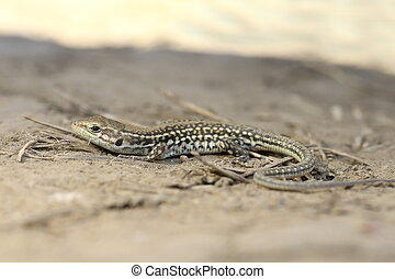 balkan wall lizard on ground, full length