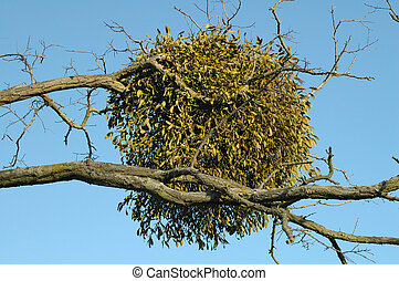 Ball of Mistletoe - ball of mistletoe growing in a tree