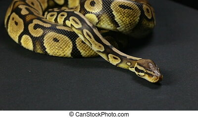 Ball python, head and tongue - Footage of royal ball python...