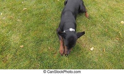 balle, chien noir, jouer