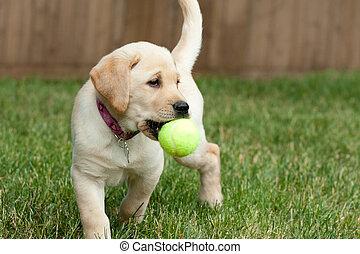 balle, jouer, laboratoire, jaune, chiot, tennis